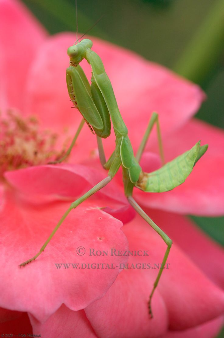 50 best mantis religiosa images on pinterest praying mantis mantis religiosa tatadios dhlflorist Image collections
