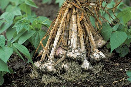 Garlic - RHS growing advice
