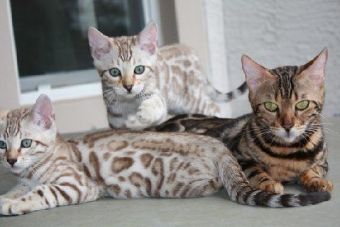 Exotic Snow Bengal Kittens for Sale and snow Bengal cats For Sale from Bengal Cat Breeder,Bengal cat breeder Florida More