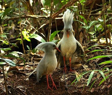 "A rare New Zealand bird, not much is known about the enigmatic Kagu. It is flightless; it is a forest-dweller. Very few remain and scientists know little about its preferences and habits. We do know that it possesses ""nasal corns"" unlike any other bird. The kagu also has one-third the red blood count of other birds."