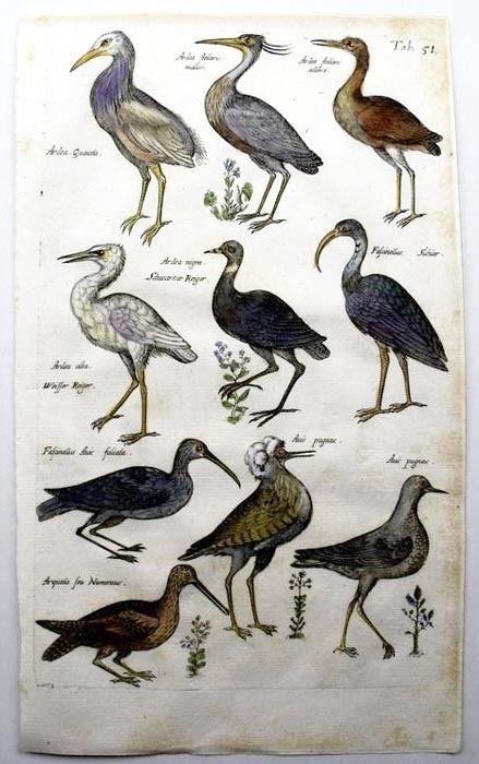 Цапли. Экзотические птицы. Бестиарий Мериана. Маттеус Мериан. Амстердам, Historia Naturalis, 1657 год