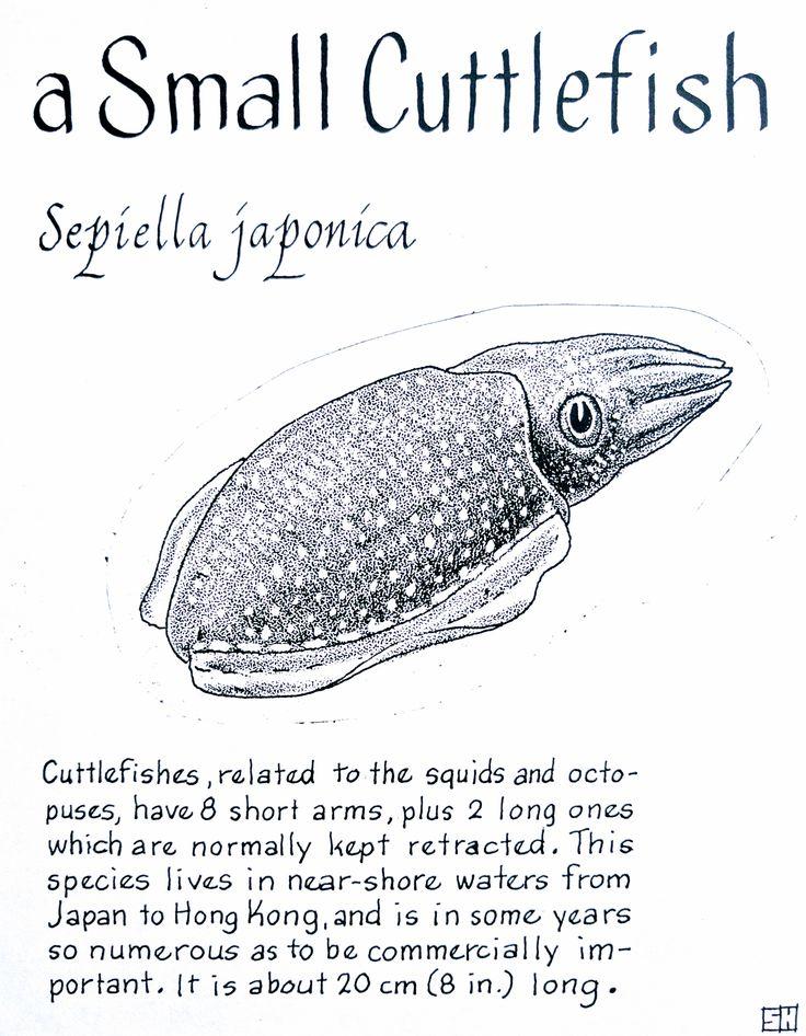 A Small Cuttlefish (Sepiella japonica) Cuttlefish