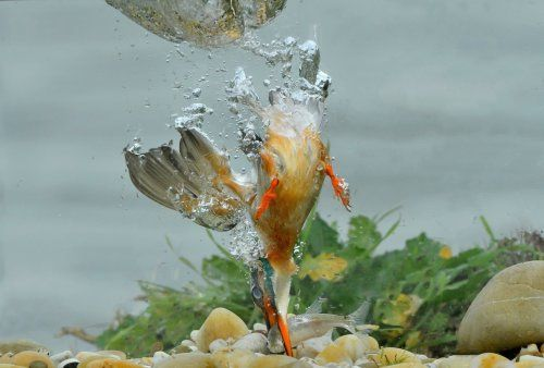 """""""Kingfisher underwater"""" by Maurizio Bonora is a trending image on Snapgle! Share your best photos from Snapgle to get more votes and win the competition!"""