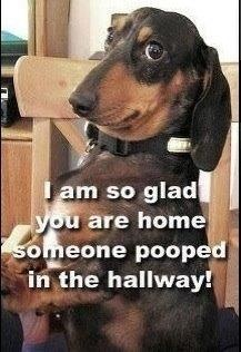 LOLOLOLOL.: Puppies, Hallways, Dachshund, Pet, Funny Animal, Weiner Dogs, Wiener Dogs, So Funny, Dogs Faces