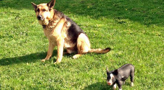 Duke le Berger Allemand est un Chien au grand cœur, il a pris sous son aile un tout jeune Porcelet qui le suit maintenant partout ! http://wamiz.com/chiens/actu/inseparables-ce-chien-et-ce-porcelet-offrent-une-nouvelle-le-on-d-amitie-4967.html