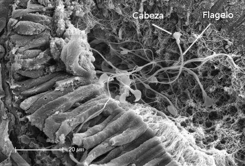 tejidos humanos microscopio - Buscar con Google