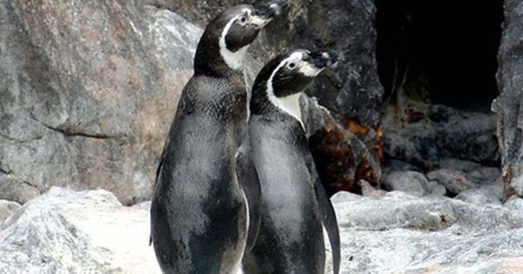 Cómo respiran los pingüinos debajo del agua. Los pingüinos necesitan sumergirse debajo del agua para encontrar comida en el océano. Sin embargo, también necesitan oxígeno para respirar debajo del agua. La mayoría de las especies de pingüinos se sumergen debajo del agua por 6 minutos en promedio, ya que la mayoría de sus presas residen en los niveles de agua superiores. Sin embargo, el ...