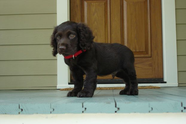 Zuma, a Boykin spaniel from Beaufort, South Carolina