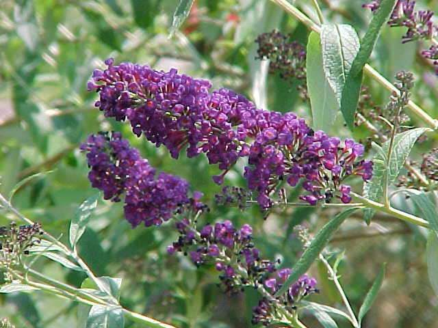 Buddleja (Butterfly Bush) - A vigorous growing semi-evergreen shrub, grows 12 to 15 feet tall and wide with 8-10 inch long silvery-gray leaves. Scented lavender-blue flowers with orange eyes first appear in spring and can rebloom until fall. Removal of spent flower spikes during this period will encourage additional bloom. Full sun to bright light shade. Becomes sparse and flowers less if not grown in full sun. Low water, does not tolerate wet soils. Hardy to 10° F.