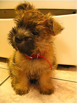 Cairn Terrier Puppy when I am old I shall snake him in my house he's so little perhaps I could conceal him lol