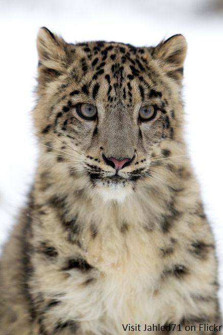 Snow Leopard Pictures Only - Bing Images