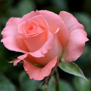 THORNLESS ROSE - TRUE FRIEND - Garden Express