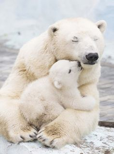 Polar bear with cub, family