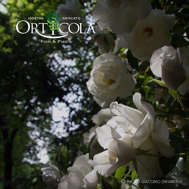 #Italian white #rose
