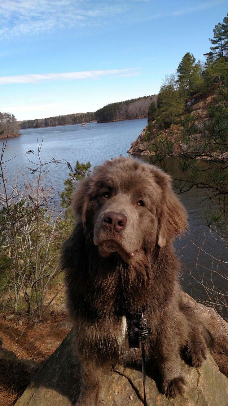 35 very beautiful newfoundland dog pictures - Newfoundland Dog Gandalf