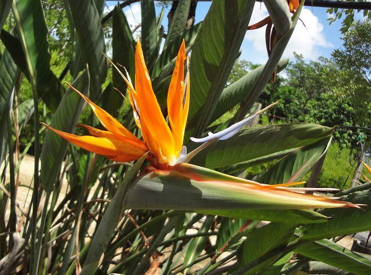 Orange Bird of Paradise, Strelitzia reginae