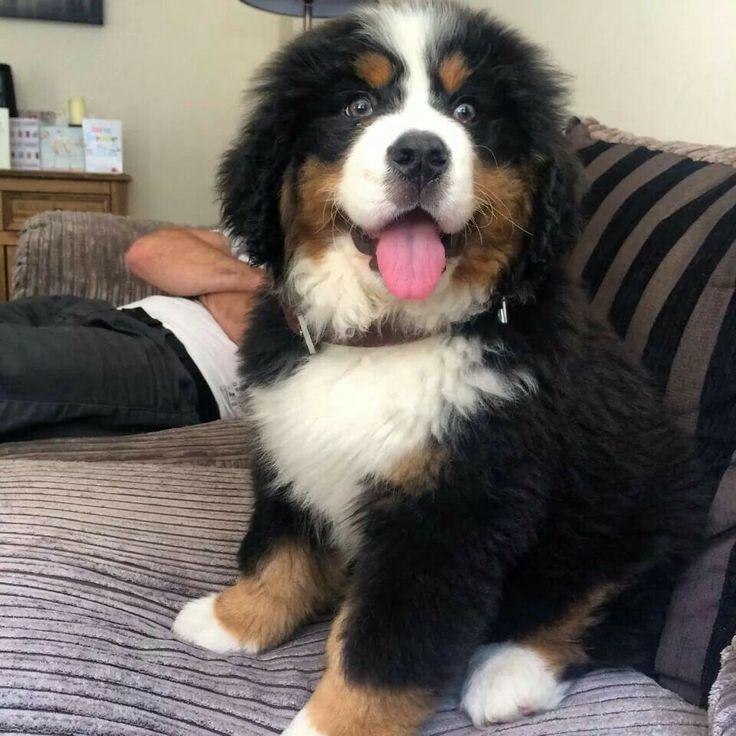 Bernese Mountain Dog Rescue England