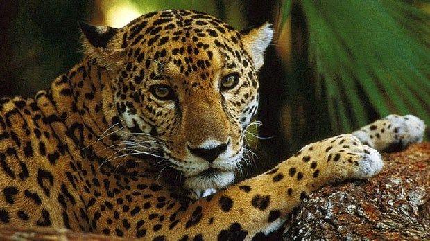 O terceiro maior felino do mundo (apenas atrás de tigres e de leões) e o maior felino do continente americano, é também chamado de pantera ou onça pintada.  Habita no continente americano, desde o sudoeste norte-americano até ao norte da Argentina, passando por México, grande parte da América Central e sul do Paraguai.