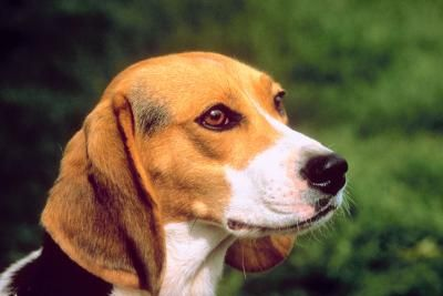 With their voracious appetites, beagles will pretty much eat anything in sight if you let them, quickly packing on the pounds. To prevent your pup from becoming overweight, you'll need to put him on a diet, restrict his calories and hide any food lying around from your clever scent hound.