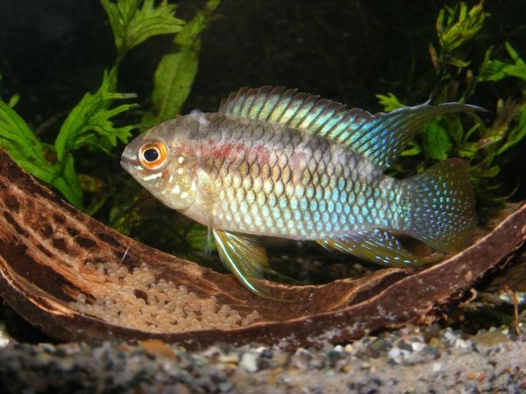 Sheepshead Acara / Dwarf Flag Cichlid (Laetacara Curviceps) - Adult ...