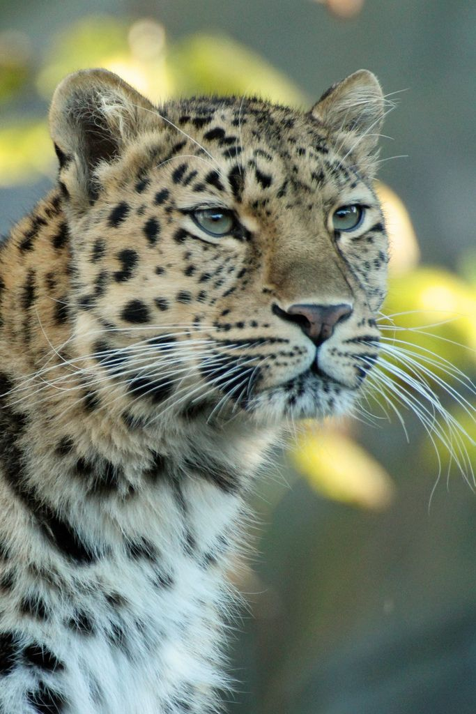 1000 Images About Everything Cheetah Leopard On Pinterest