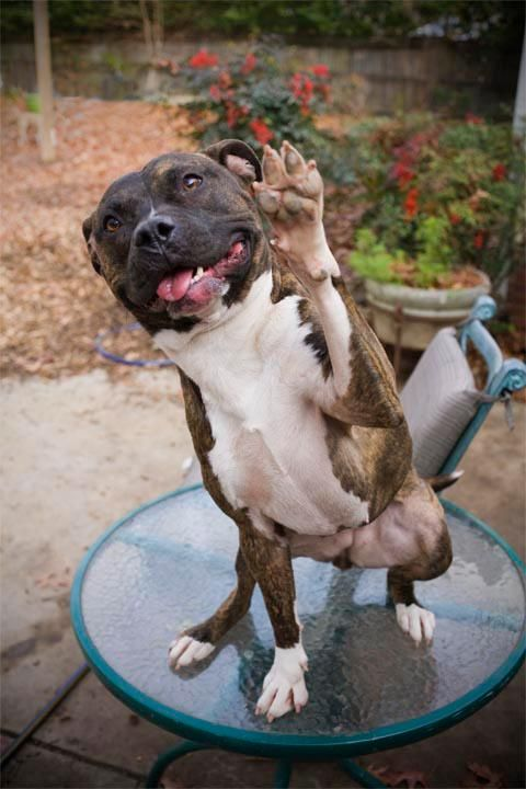 High Five to Ya if you voted YES to end the Pit Bull Ban in Miami!