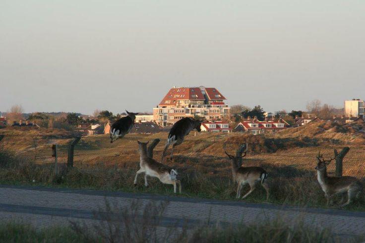 In de winter lopen de #herten zelfs door het centrum van #Zandvoort aan Zee! #deer