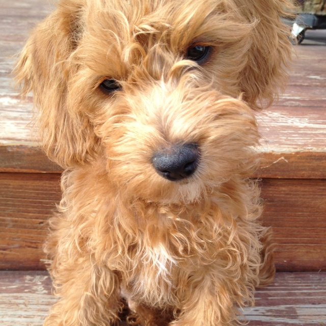 The Best Schnoodle Of All Schnoodles Cute Puppy Cute