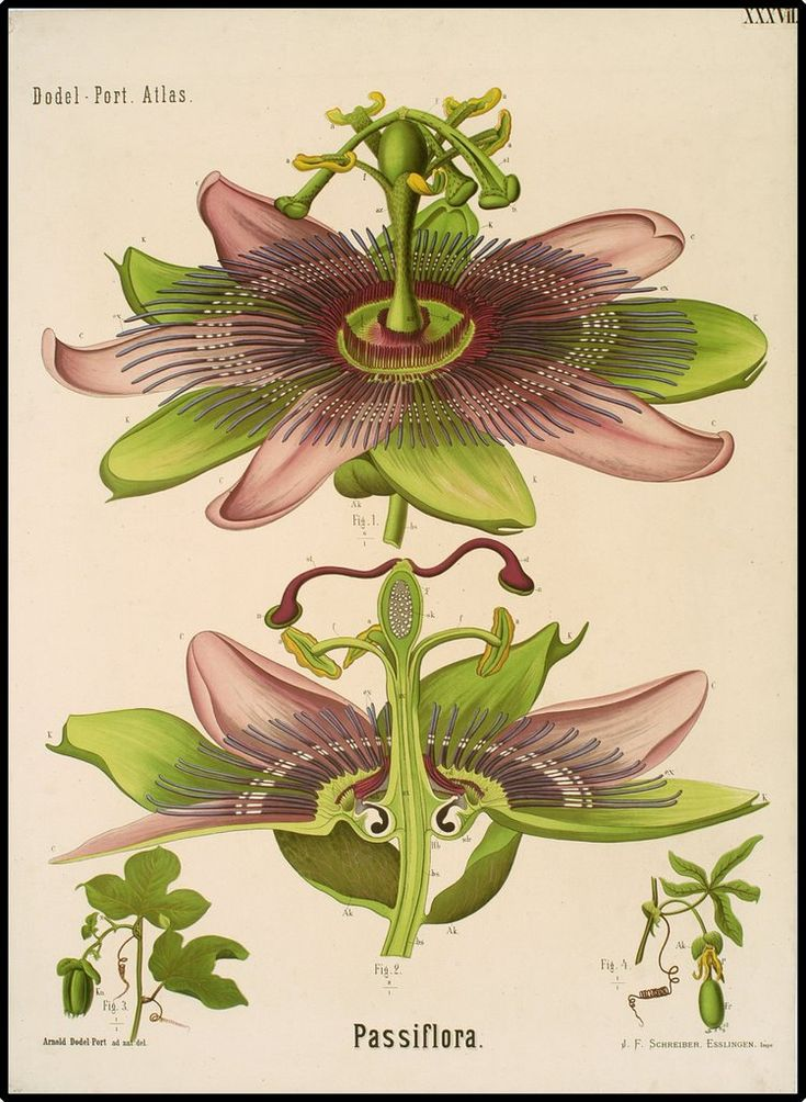 BibliOdyssey: Dutch Botanical Wall Charts 1870-1960