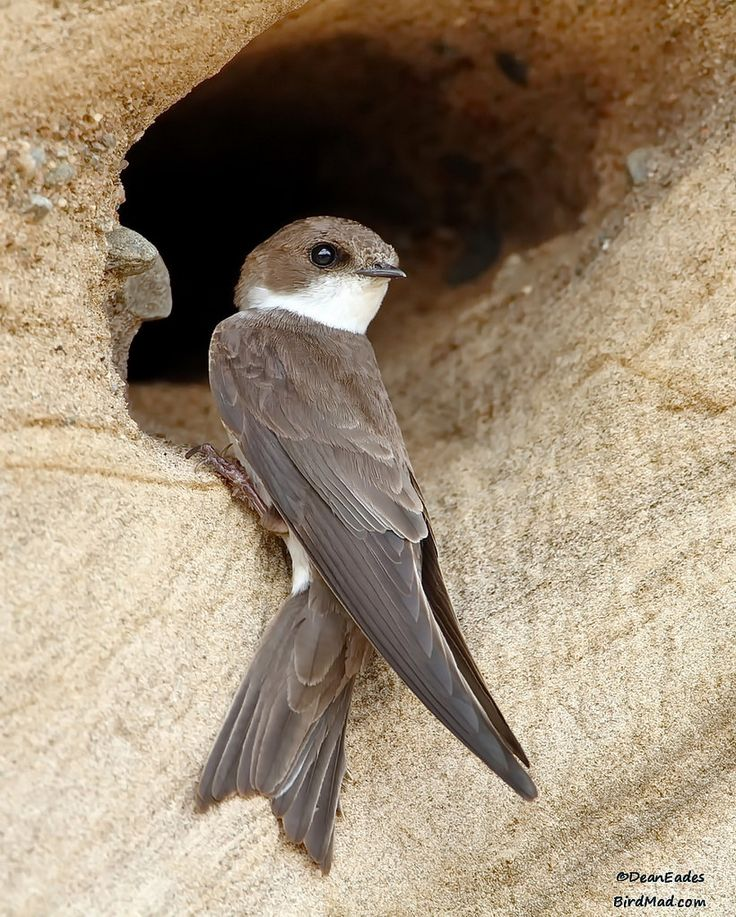 Sand Martin, Collared Sand Martin, European Sand Martin or Bank Swallow - most of Europe & Mediterranean countries, part of N. Asia & N. America, wintering in eastern & southern Africa, South America & S. Asia