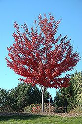 Click to view full-size photo of Autumn Spire Red Maple (Acer rubrum 'Autumn Spire') at Cannor Nurseries