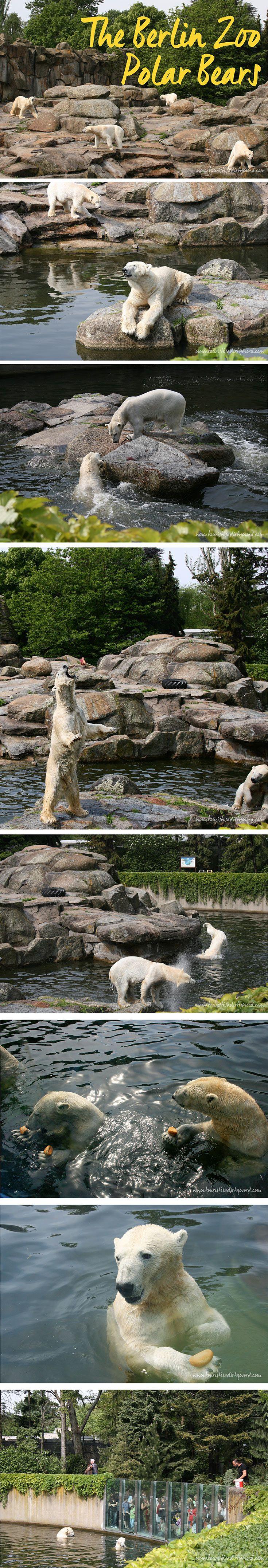 Polar Bear Feeding at the Berlin Zoo • Tourist is a Dirty Word Blog • Germany Travel