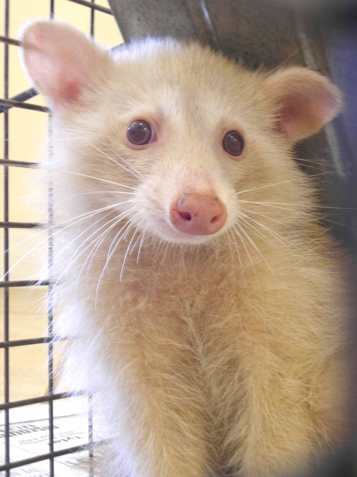 Humane Society of Marion County - News and Events - Albino Racoon