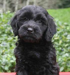labradoodle for sale, labradoodle puppies for sale, labradoodle puppies, labradoodle oregon