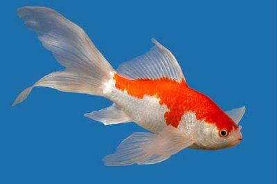 Raising Sarasa Comet Gold Fish - The Sarasa Comet originally from China but know all over the world, they are a type of single-tailed goldfish, Also called the Comet-tail Goldfish. they are originally native to China. Sarasa Comets , prefer low lighting. Sarasa Comet Goldfi