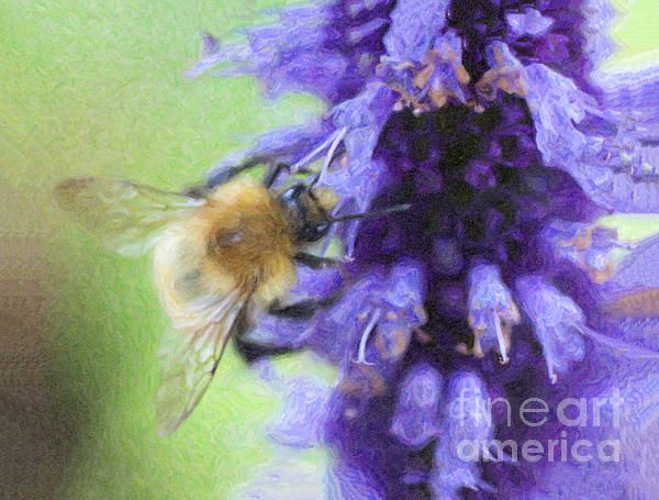 A Common Carder Bee, Bombus pascuorum, on a Buddleja flower spike.