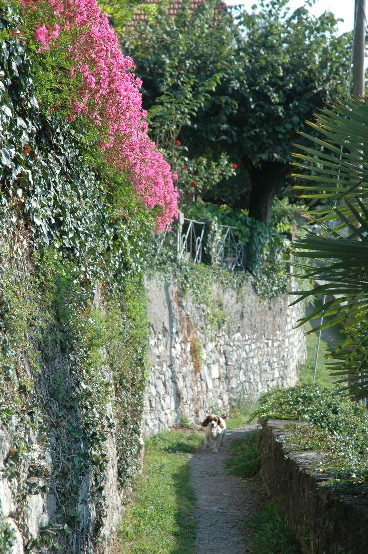 Our Springer Spaniel Tweed enjoying a stroll along the Greenway del Lago walking path