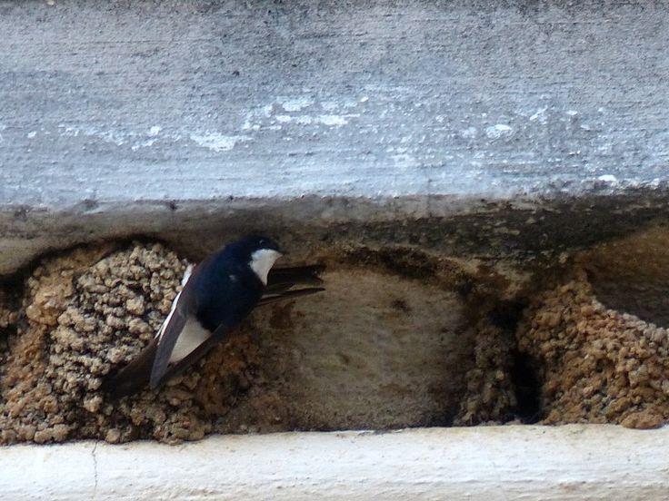 http://faaxaal.forumactif.com/t1996-photos-d-oiseaux-hirondelle-de-fenetre-delichon-urbicum-hirundo-urbica-common-house-martin