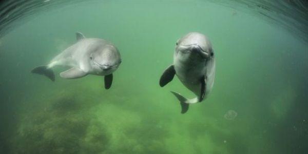 Τα δελφίνια και οι φάλαινες ελέγχουν τους καρδιακούς τους παλμούς