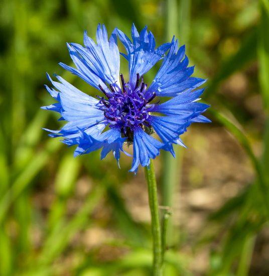 Chrpa modrá