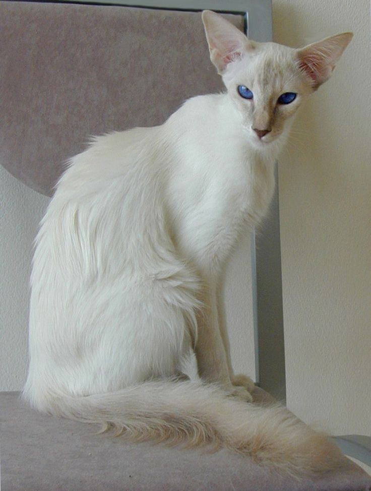 Balinese Cat...beautiful...never seen this breed before...but I would never say no!