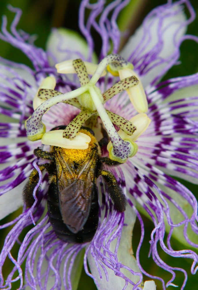 Passionflower materia medica <3 one of my favorites!
