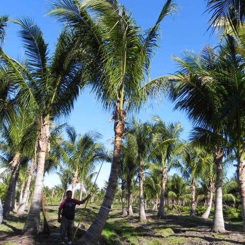 Buy Curved Coconut Palm Trees Malayan And Maypan Coconut