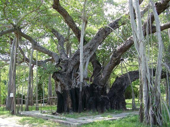 The Banyan Tree at the Theosophical Society, Adyar in Chennai. Photo: M. Karunakaran.