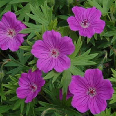 Cranesbill Geranium. Very hardy plant. Long bloom time. Great in a mixed border. Will take part shade to full sun. Mounding habit. Easy to care for. I see this a lot at elevation.