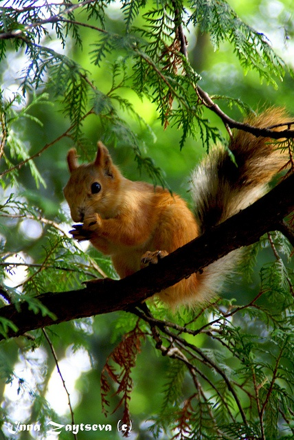 Squirrel in greens