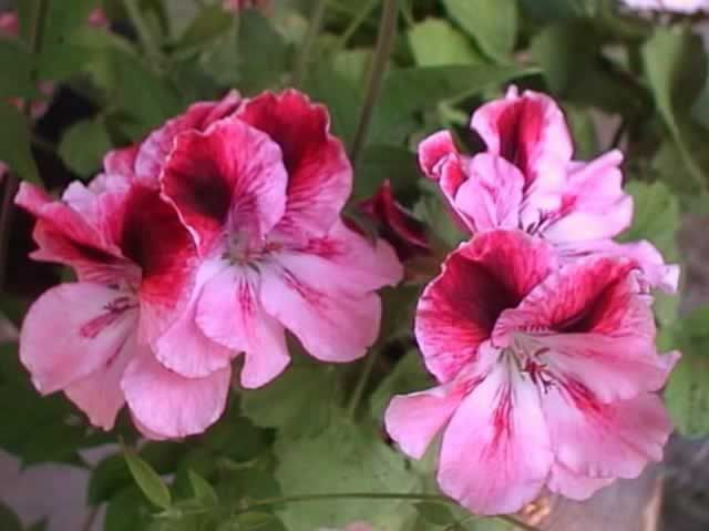 25 best geranium plant ideas on pinterest - How to care for ivy geranium ...