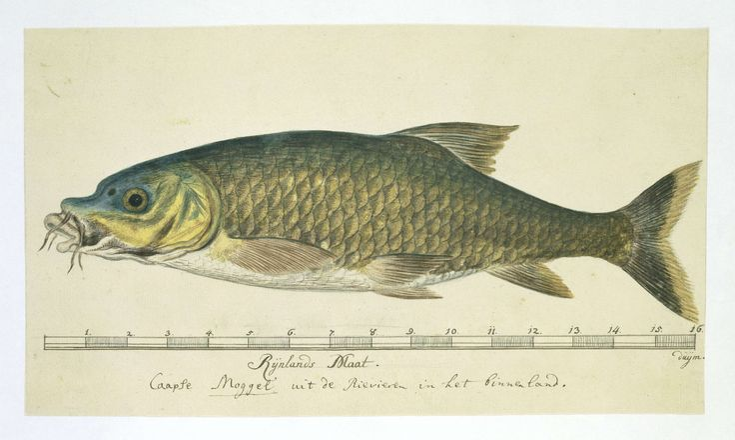 Kaapse moggel of harder (Labeo umbratus), attributed to Robert Jacob Gordon, 1777 - 1786