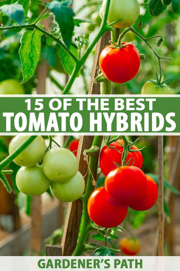 15 Of The Top Tomato Hybrids In 2020 With Images Backyard