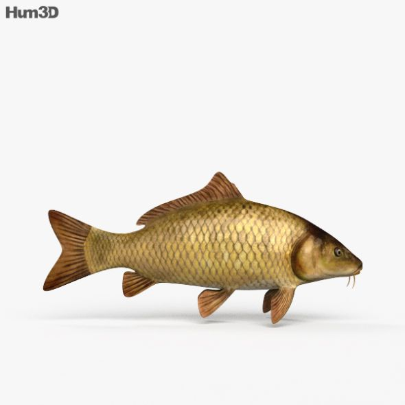 Carp Hd Carp 3d Model Fish Pet